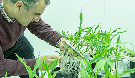 Wheat plants growing in hydroponic culture